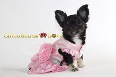 Chihuahuas Love - Información Raza Chihuahua. Saber Mas Sobre Los Chihuahuas…