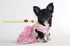 Chihuahuas Love - Información Raza Chihuahua. Saber Mas Sobre Los Chihuahuas. Blog de Chihuahuas.