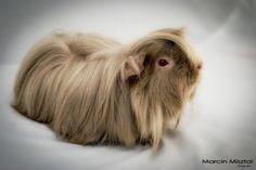 guinea pig :)