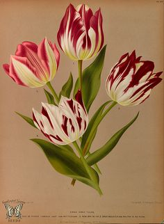 Single Early Tulips - Album van Eeden - Harlem's Flora - door A.C. Van Eeden & Co. (1872)