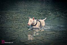 #dogs #bullterrier #englishbullterrier #bullterrierpics #ebt #bullie #bullterrierlove
