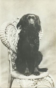 c.1900 RPPC of black spaniel sitting on photographer's wicker chair. From bendale collection