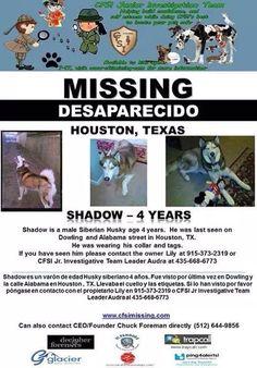 """#Lostdog 2-12-15 """"Shadow"""" #Houston #TX #SiberianHusky  4y male  915-373-2319 https://www.facebook.com/bringshadowhome/photos/a.788697871178715.1073741829.788261517889017/814880011893834/?type=1"""