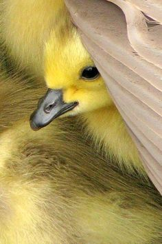 SEASONAL – SPRING – the warmer temperatures of springtime bring out the new born animals to discover and explore their surroundings like the baby canadain goose.
