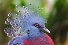Victoria Crowned Pigeon. I want one of these so bad but they are impossible to find!