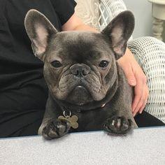 Lola, the French Bulldog #Buldog