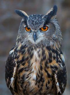 https://flic.kr/p/AUBXGC   Eurasian eagle owl   Canadian raptor conservancy
