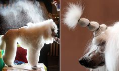 Coiffed at Crufts! Dog show to lift its ban on hairspray and other 'performance-enhancing' products