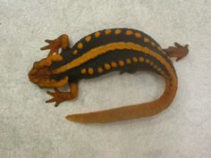 Salamander - Emperor Reptiles And Amphibians, Emperor, The Hobbit, Nature, Animals, Color, Design, Animales, Colour