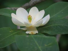 I believe a variety of magnolia tree- Botanical Garden ©KibibiPhotography Missouri Botanical Garden, Botanical Gardens, Magnolia Trees, All Pictures, Bloom, Floral, Flowers, Nature, Plants