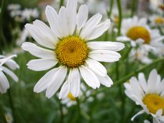 Daisy - such a happy flower!