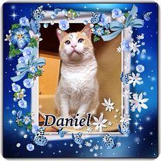 Prairieville, LA - Siamese. Meet Daniel a Cat for Adoption.
