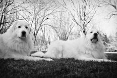 Great Pyrenees Mountain Dogs--These look just like my old  great pyrenees, Cheyenne. Well over 100 lbs., she was so beautiful!