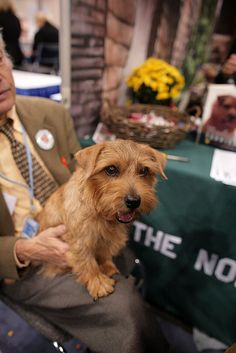 Norfolk. Terrier