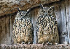 Two king Owl (Due gufi reali) - WildLife | © Roberto Carnevali