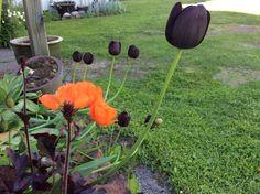 mustat tulppaanit
