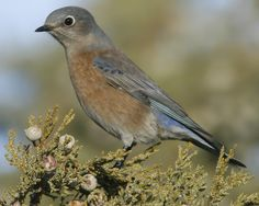 Western Bluebird | Audubon Field Guide