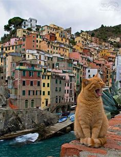 Beautiful cat photo taken in Cinque Terre in Italy / yawning ginger cat / garfield cat / garfield lookalike / singing ginger cat / Italian cat / Garfield Italy