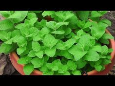 Here are the top 10 medicinal herbs that you can grow at home Lemon Balm The lemony and minty smell, and the refreshing look of lemon balm leaves will add glory to any garden area. This herb eas… Growing Mint, Growing Ginger, Growing Herbs, Planter Menthe, Grands Pots, Comment Planter, Mint Plants, Mosquito Repelling Plants, California Garden