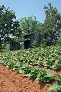 Tobacco Barns.  Sheltered area was where the tobacco was processed before being put in the barn.  http://northcarolinatobaccobarns.com/5.html#  North Carolina Tobacco Barns - Old Bright Belt