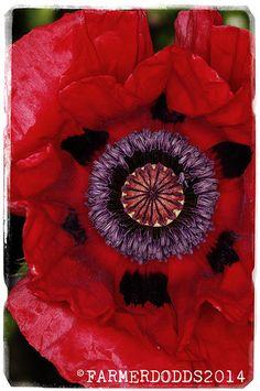 Papaver bracteatum 'Armenian Poppy' #flower #garden