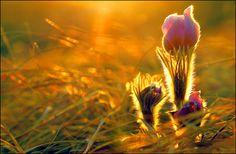 Prairie Crocus in Spring time by Robert Berdan, Flickr