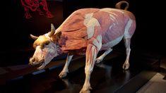 Animal anatomy in the flesh