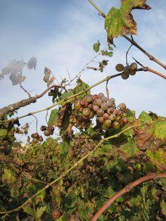 Vall de Pop - Las ultimas uvas. 10-2013.