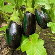 Vegetables You Should Plant Together - Companion Planting Guide – 17 Vege. Vegetables You Companion Planting Guide, Vegetable Planting Guide, Planting Vegetables, Growing Vegetables, Vegetable Garden, Plant Guide, Garlic Companion Plants, Growing Eggplant, Outdoors