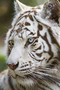 Close profile of a white Tiger by Tambako the Jaguar