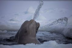 beluga whales havin' fun:)