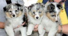 Shelridge Puppies