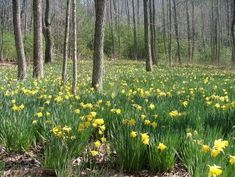 Image result for images landscapes with daffodils