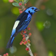 *Opal Rumped Tanager