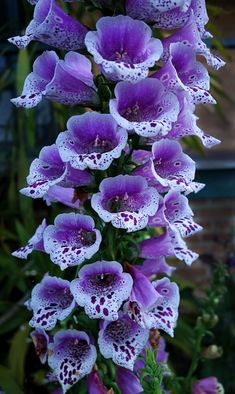 Nice 22 Awesome Foxglove Flower https://www.fancydecors.co/2017/12/24/22-awesome-foxglove-flower/ Folks who eat any portion of the plant or make tea from the leaves are, essentially, taking an unregulated dose of coronary medication. Eating it can be fatal.
