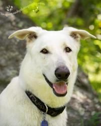 P-Bear (NH) is an adoptable White German Shepherd Dog in Londonderry, NH. UPDATE & NEW VIDEO - MAY 2012 Pooh Bear has come a long way and is house trained and runs well with a pack.He's very playful ...