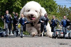Lily and the guys #Groomsmen poodle chasing groomsmen, Fun wedding photo idea…