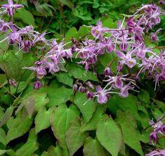 Epimedium grandiflorum Lilafee of elfenbloem is een winterharde licht paars bloeiende bodembedekker met mooi blad