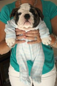 Our adorable English Bulldog Puppy, Barrett the Bulldog! Follow the blog for more adorable pictures. #barrettthebulldog