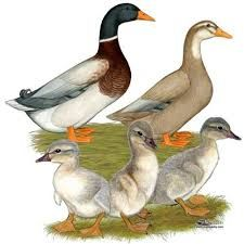 saxony ducks pictures - Google Search