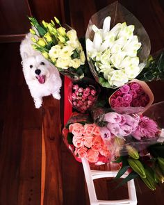 Westie and flowers
