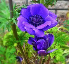 アネモネ | ちょうさんの花のブログ