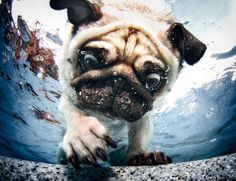 Mr. Pug says: Omg ball I will save you! I can't believe they threw you in the water!