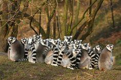 Lemures de cola anillada en un bosque de Madagascar (Shutterstock, 2015)