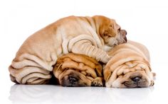 Download wallpapers shar pei, puppies, cute animals, small dogs, trio, brown puppies, 4k