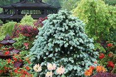 Picea pungens 'glauca' -  Colorado spruce by Four Seasons Garden