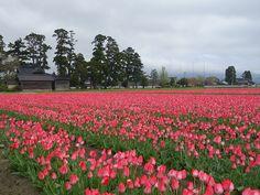 砺波市郊外に広がる農村風景「散居村(さんきょそん)」とチューリップ畑。和洋が溶け込んだ春の田園風景。