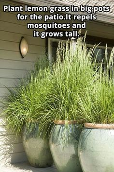 Plant lemon grass in big pots for the patio. It repels mosquitoes and it grows tall. by bonita