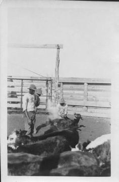Photograph of African-American cowboys branding calves. Cows in foreground. Three African-American cowboys have a calf down, still steaming from branding. Pen fence in background.