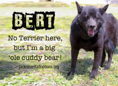 Today's featured Chow mix rescue for adoption, foster or sponsorship - Bert!